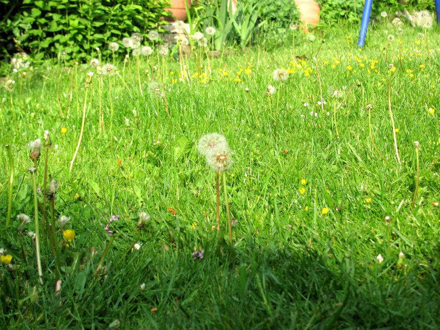 Auch Löwenzahn auf dem Rasen kann wunderschön sein.