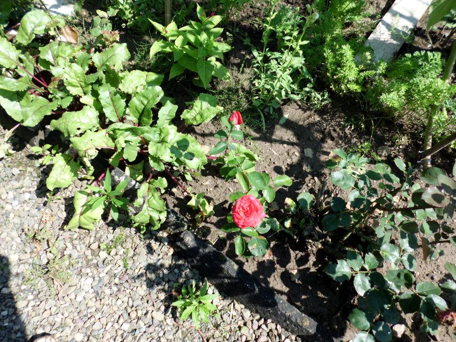 Rosen im Beet