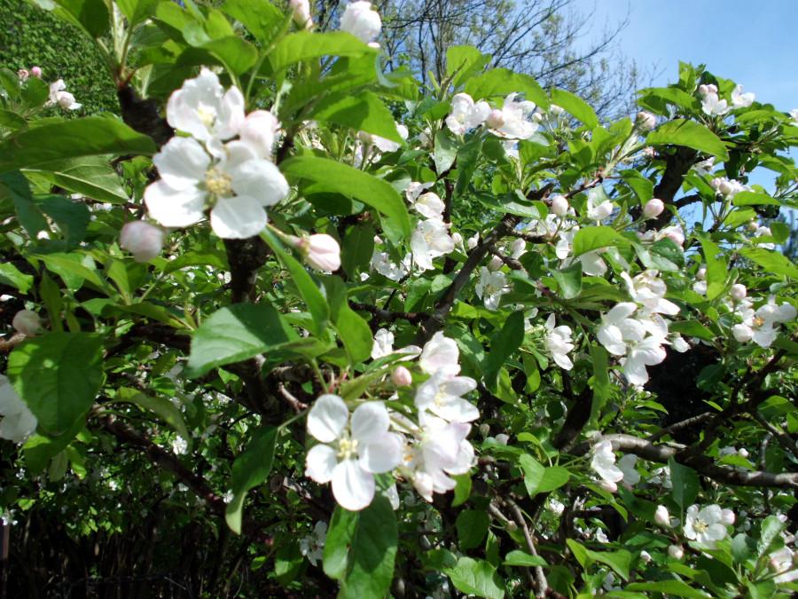 Apefelbaum im Garten