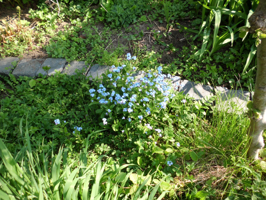 blaue Blume Garten