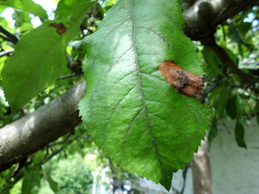 Apfelbaum braune Bätter