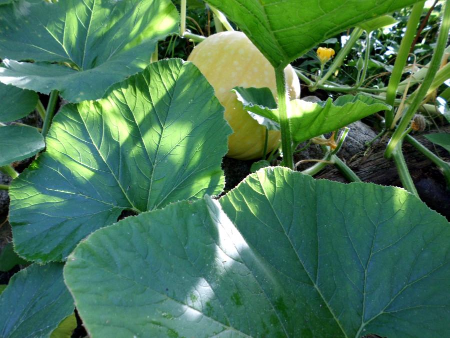 Kürbispflanzen richtig gießen