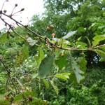 Kirschbaum braune Flecken