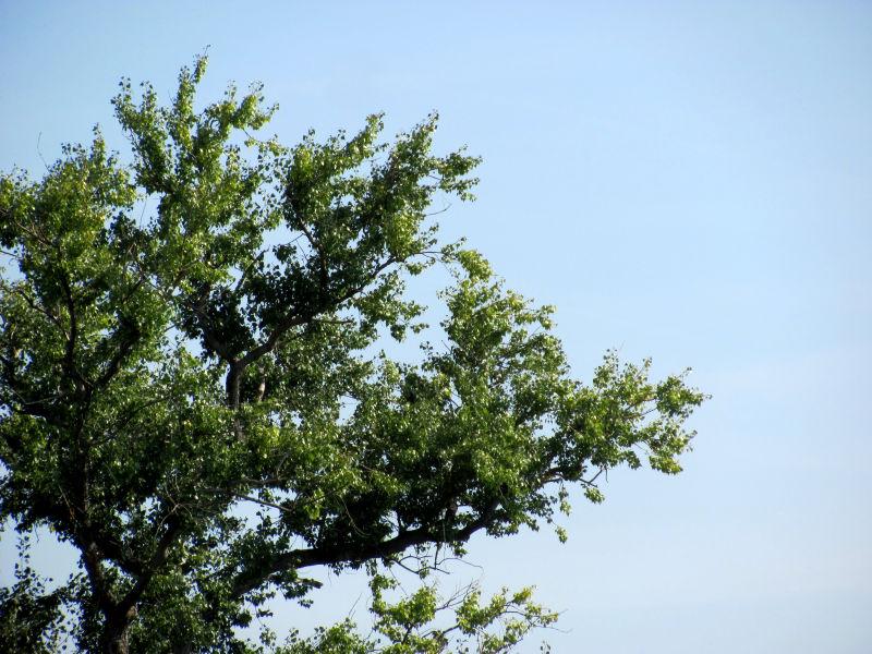 nashi birnbaum junge triebe werden schwarz und ameisen laufen zu den stellen. Black Bedroom Furniture Sets. Home Design Ideas