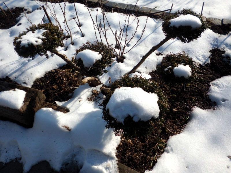 Der Portulak verträgt auch Kälte.