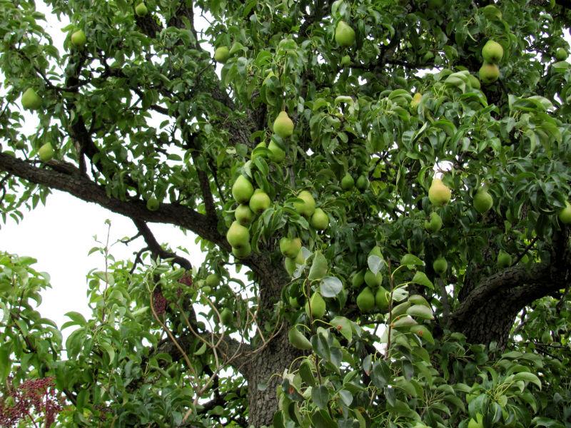 Birnbaum wirft Früchte ab
