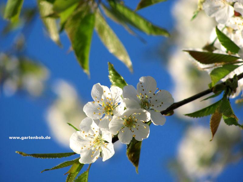 Blüte Kirsche