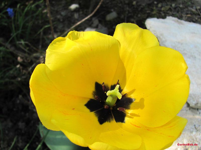 Aus der Nähe betrachtet sieht die gelbe Tulpe noch schöner aus.