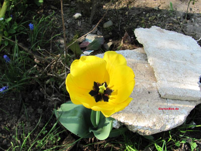 Gelbe Tulpen stechen im Frühling besonders hervor.