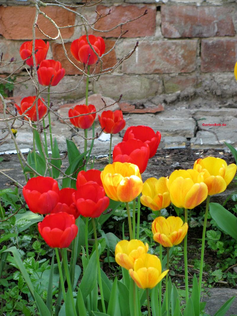 Natürlich lassen sich Tulpen auch in der Kombination pflanzen.