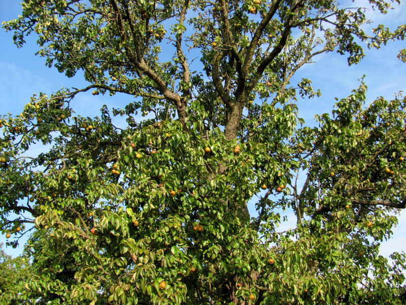 Birnen bekommen schwarze Flecken