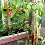 Chilipflanzen haben helle Flecken