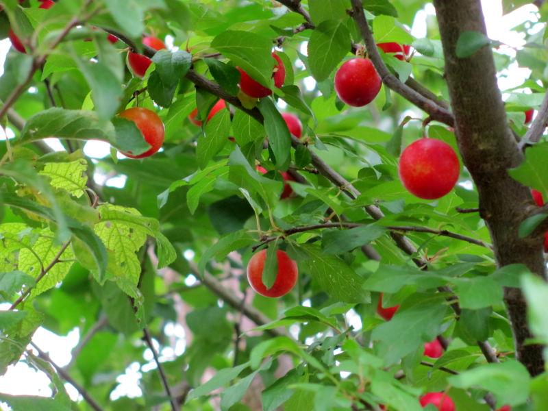 Ein gesunder Obstbaum ohne Raupen.
