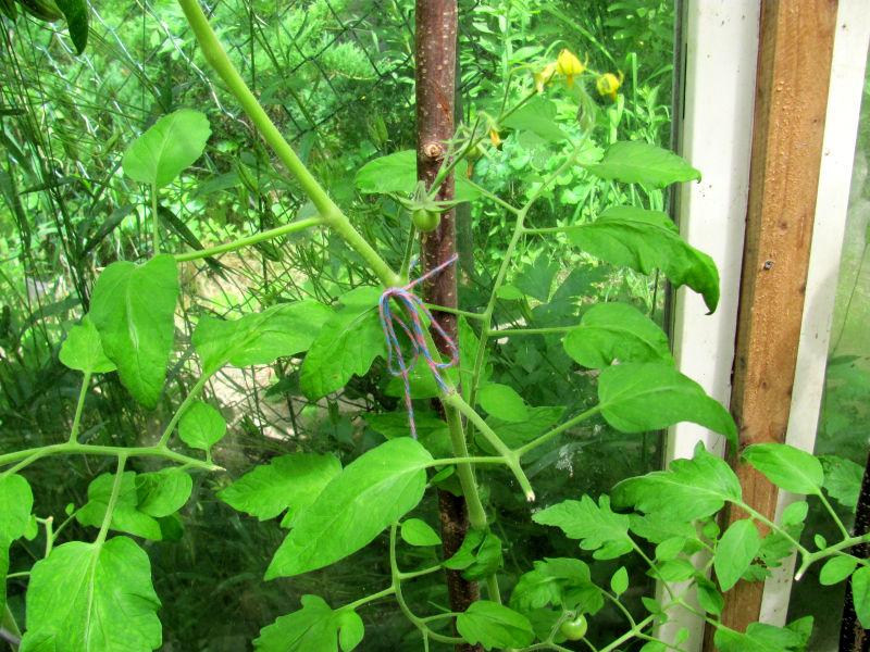 bei tomatenpflanzen rollen sich die bl tter der gartenratgeber. Black Bedroom Furniture Sets. Home Design Ideas