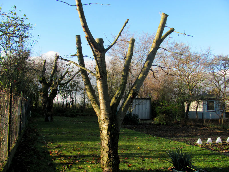 Obstbaum zu stark zurückgeschnitten