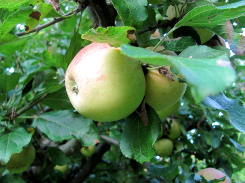 Äpfel ohne Spritzmittel