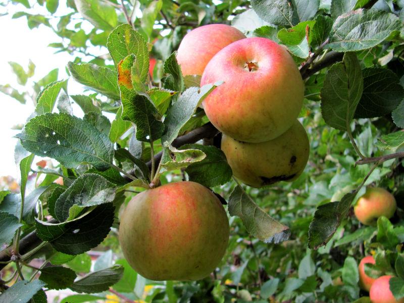 Früchte am Apfelbaum haben Stiche