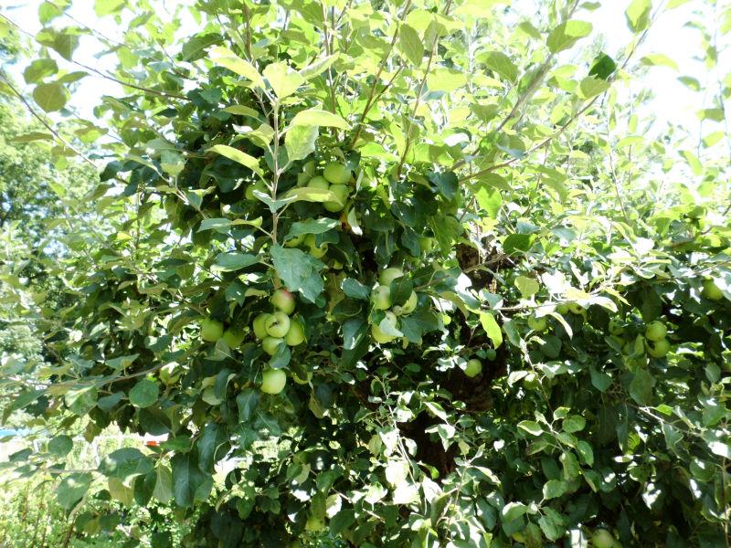 Ein gesunder Apfelbaum.