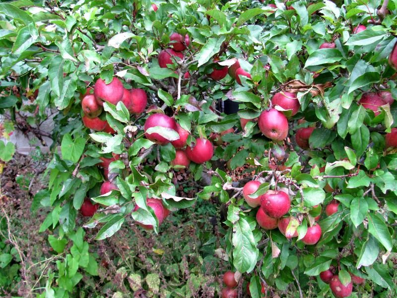 Äpfel faulen