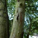 Kirschbaum hat Harzaustritt