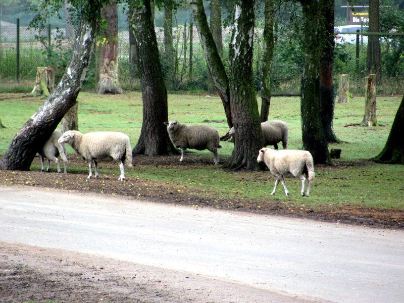 Schafe der andere Rasenmäher