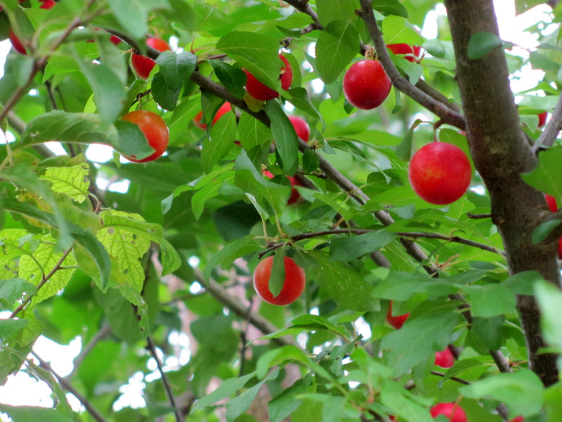 Ameisenkolonie-Ameisenstaat bevölkert Baum