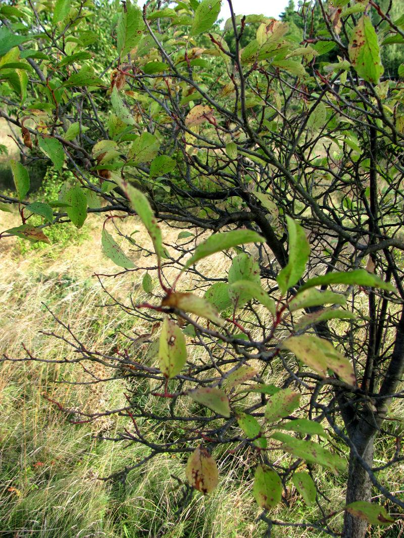Neu gepflanzte Sauerkirschbäume wachsen nicht richtig