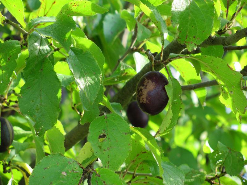 Früchte Pflaumenbaum Einstichstellen