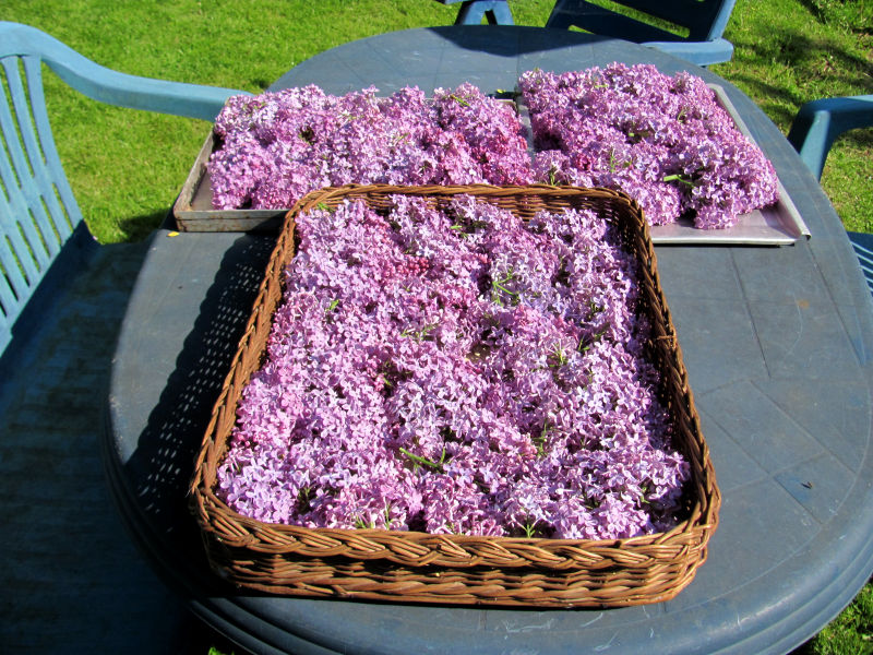 Fliederbl ten trocknen der gartenratgeber for Moos konservieren