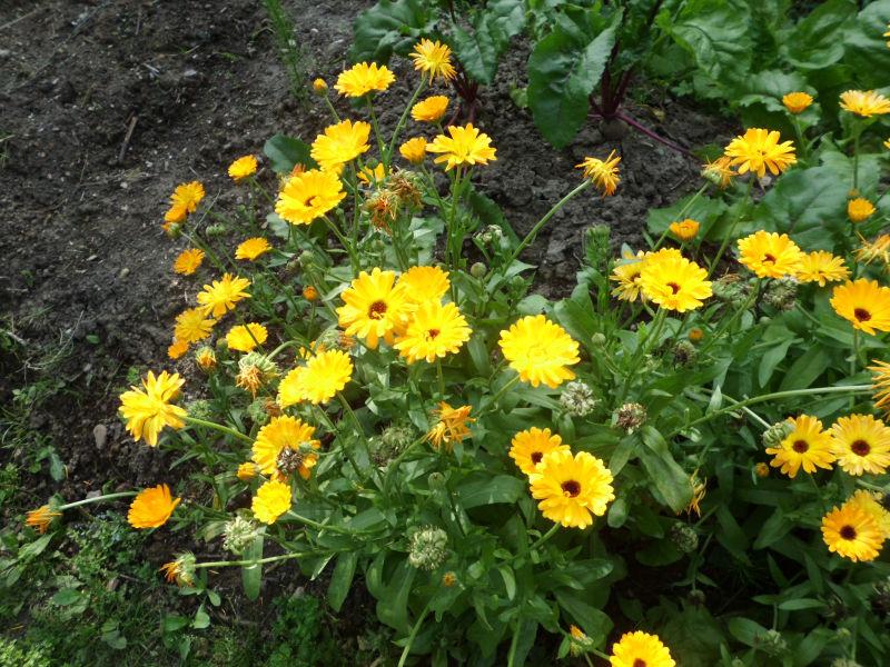Ringelblumen Hügelbeet