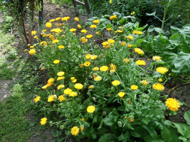 Ringelblumen im Garten