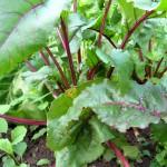 Rote Bete und Rote Rüben aus dem eigenen Garten