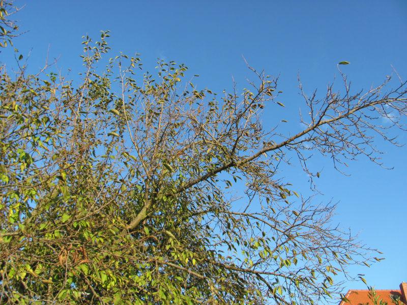 Pflaumenbaum zurückschneiden 1