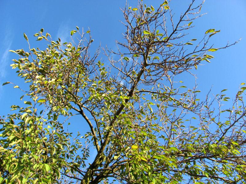 Pflaumenbaum zurückschneiden 2