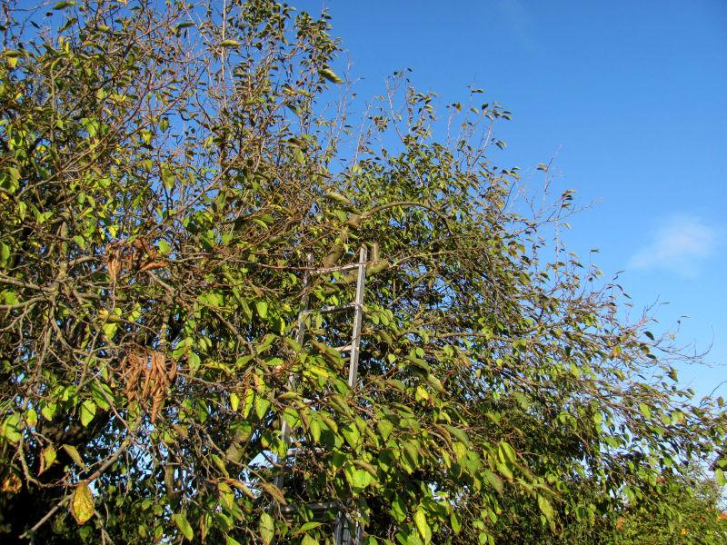 Pflaumenbaum zurückschneiden 3