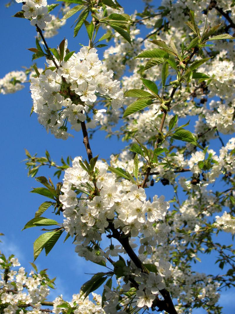 Schädlinge & Krankheiten an Obstbäumen