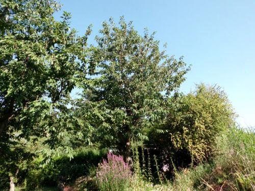 Krankheiten Trompetenbaum