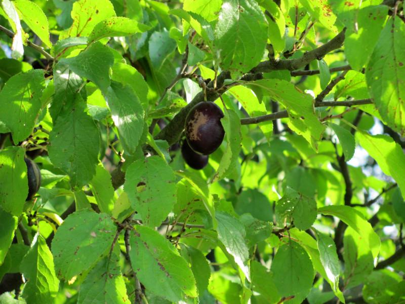 fruechte-am-pflaumenbaum-sind-innen-rotflaeckig