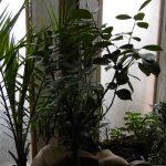 Zitronenbaum hat Harzaustritt