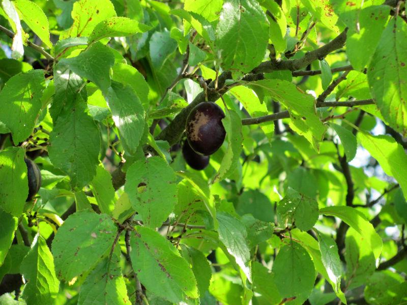 Pflaumenbaum madige Früchte