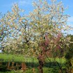 Kirschbaum wirft vorzeitig Blüten ab