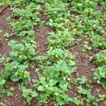 Ameisen Erdbeerpflanzen