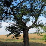 Obstbäume haben Harzfluss der nicht stoppt