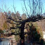 Wildwuchs nach kräftigen Rückschnitt am Obstbaum