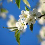 Garten Frühling Kirsche blüht
