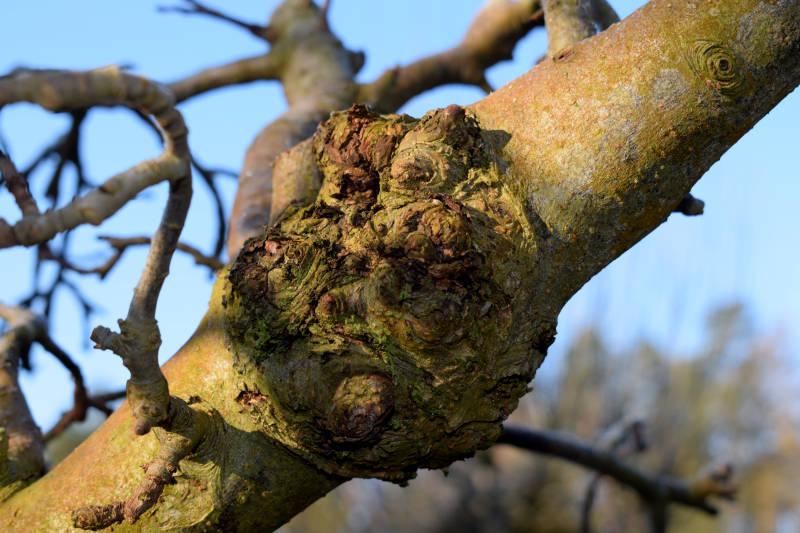Knollen und unförmige Gebilde an Obstbäumen