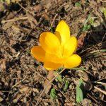 Krokus Frühling