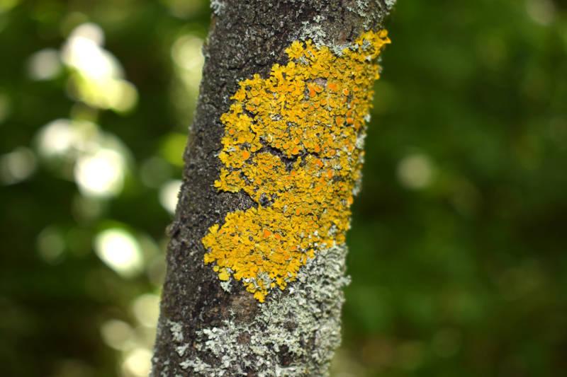 Flechten an Bäumen und Sträuchern