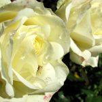 Rosen überdüngt