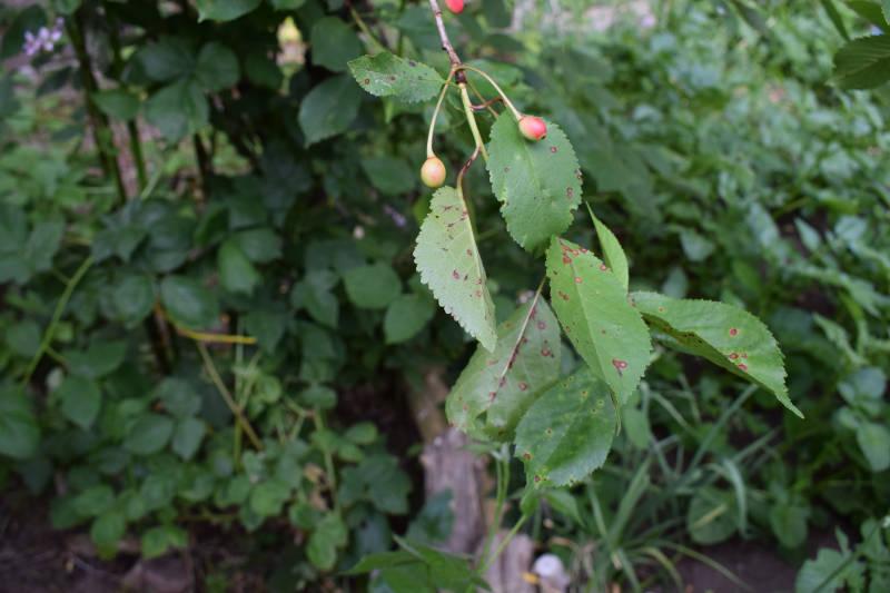 Blätter am Kirschbaum bekommen braune Flecken